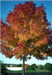 Purple Ash Tree in Autumn